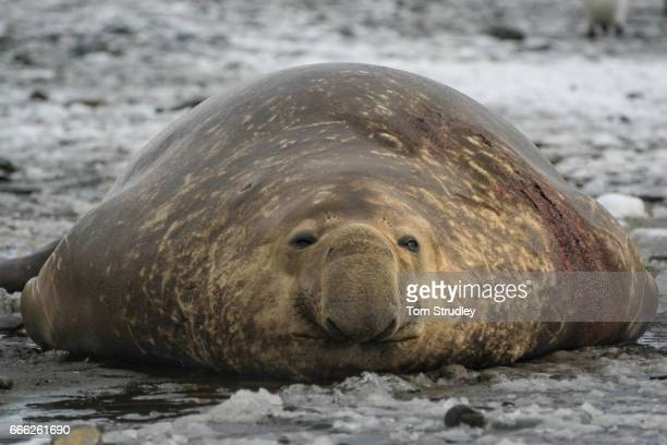 A bull elephant seal laying lazily on the beaches of South Georgia Island