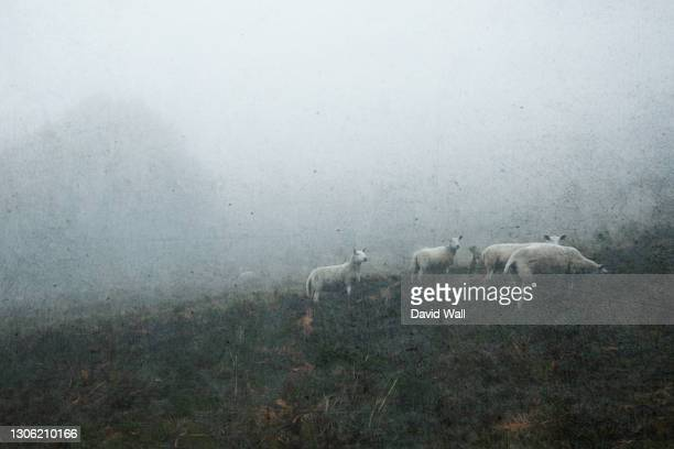 a grunge artistic edit of sheep grazing on a side of a hill. on a moody atmospheric foggy day. malvern hills, uk. - sheep stock pictures, royalty-free photos & images