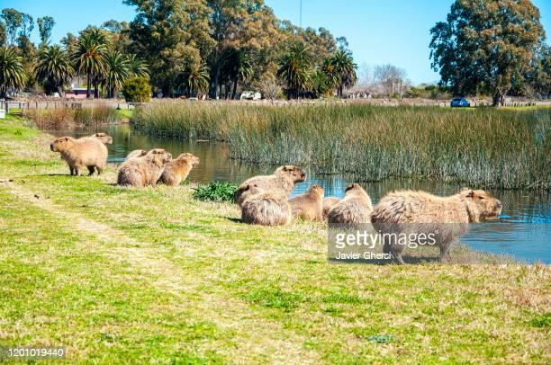 grupo de carpinchos, capibaras o chigüiros en su hábitat natural (laguna de las flores, buenos aires, argentina). - capybara stock pictures, royalty-free photos & images