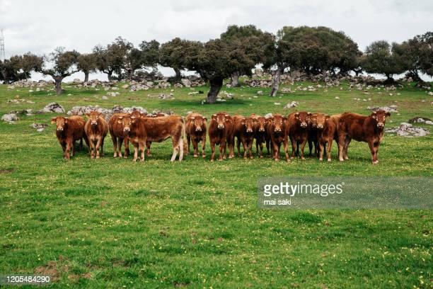 grupo de vacas rubias - prado fotografías e imágenes de stock