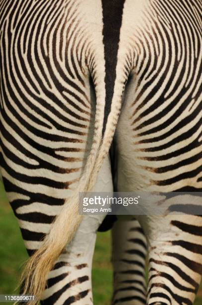 grévy's zebra back - hairy bum stock pictures, royalty-free photos & images