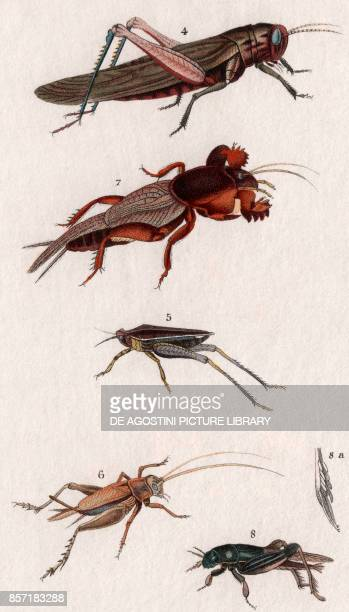 4 Migratory locust 5 Twospotted groundhopper 6 House cricket 7 European Mole cricket 8 Tridactylus paradoxus colour copper engraving retouched in...