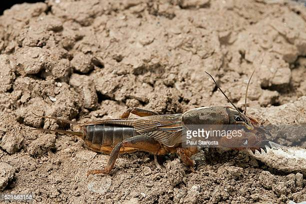 gryllotalpa gryllotalpa (european mole cricket) - mole cricket stock pictures, royalty-free photos & images