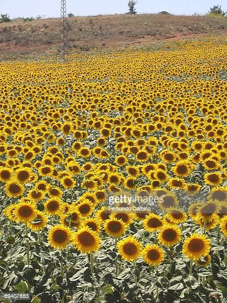Guadalajara Spain Field of sunflowers
