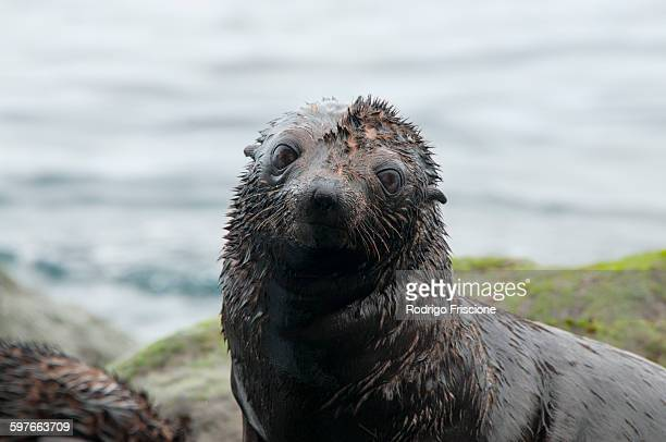 Guadalupe fur seal pup on rocks looking at camera, Guadalupe Island, Baja California, Mexico