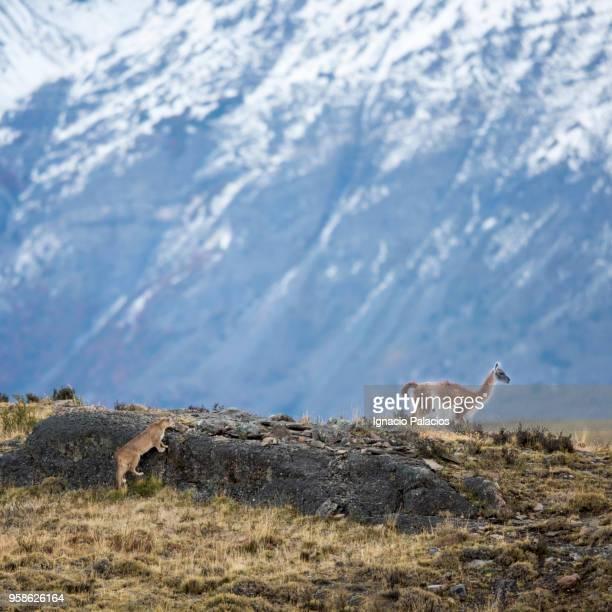 guanaco and puma, torres del paine national park - tiere bei der jagd stock-fotos und bilder
