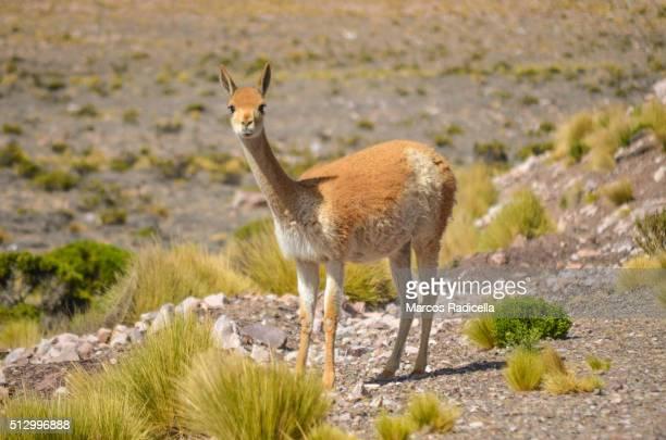 guanaco at jujuy province, argentina - radicella photos et images de collection
