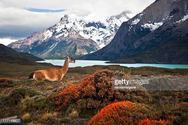 guanaco at torres del paine xxxl - chile stock pictures, royalty-free photos & images