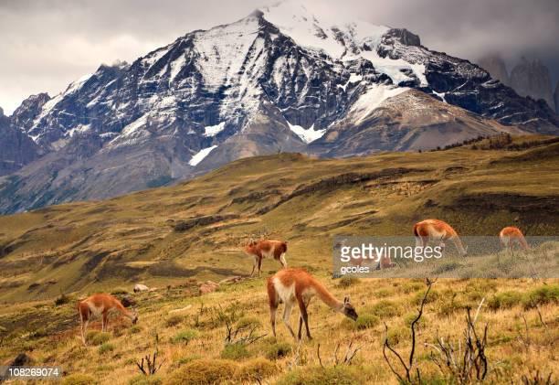 Guanaco troupeau de Torres del Paine Mountain Range