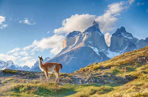 Guanaco in Chilean Patagonia 514067938