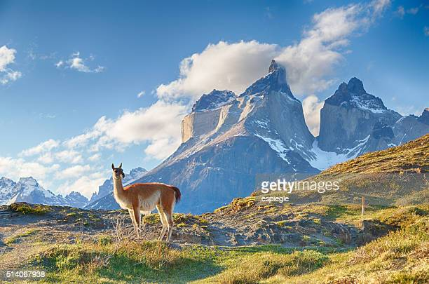 guanaco in chilean patagonia - chile stock pictures, royalty-free photos & images