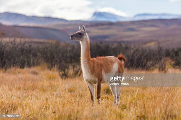 guanaco in the park torres del paine, chile - lama stock pictures, royalty-free photos & images