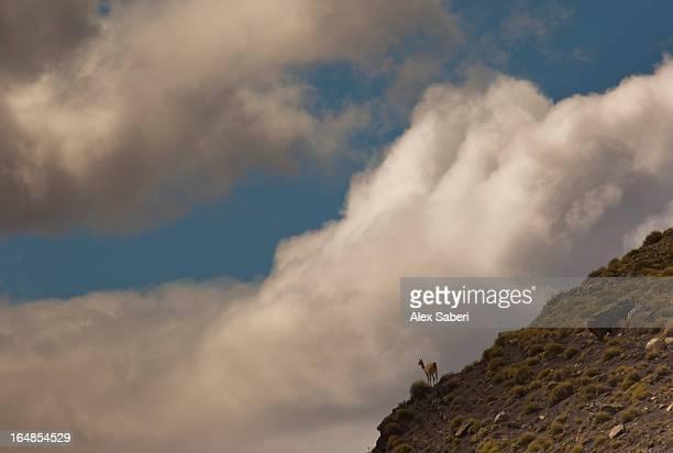 a guanaco, lama guanicoe, looks out from a mountain slope. - alex saberi 個照片及圖片檔