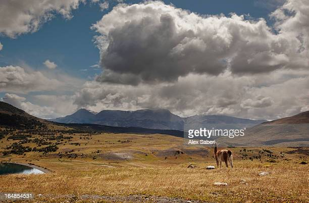 a guanaco looks out onto torres del paine national park. - alex saberi 個照片及圖片檔