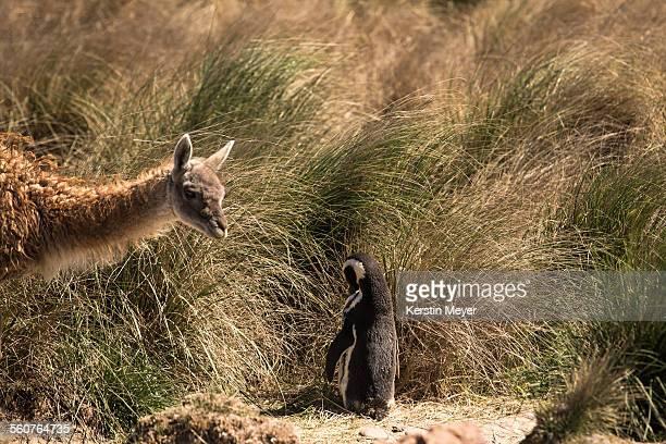 Guanaco meets Magellan Penguin