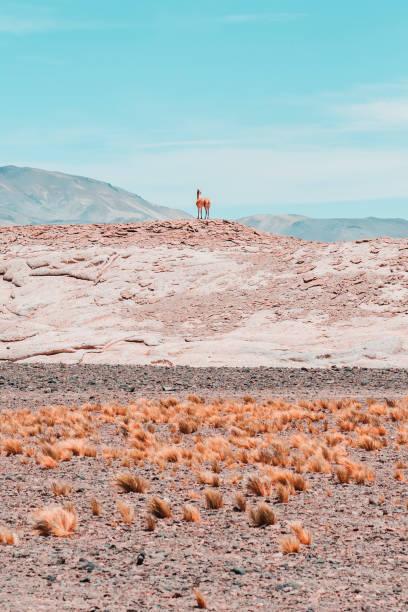 Guanaco on hill against blue sky in Chilean Atacama Desert