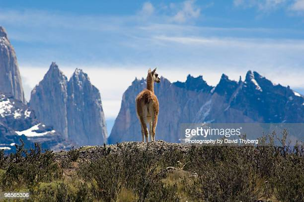 Guanaco  on mountain meadow