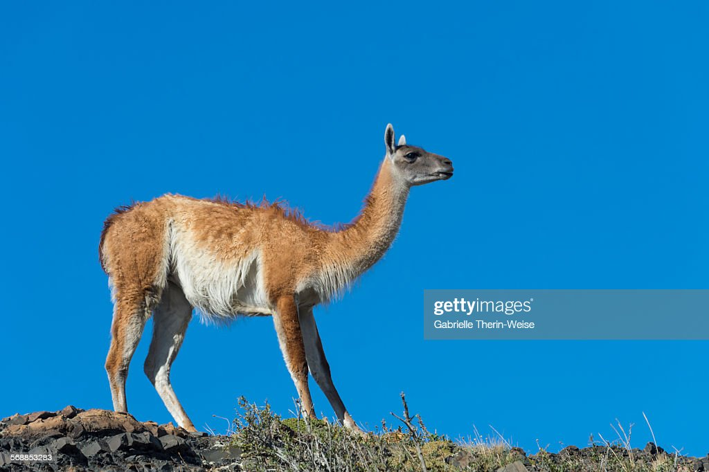 Guanaco : Stock Photo