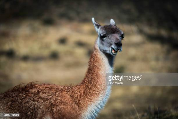 guanaco - don smith stock photos and pictures