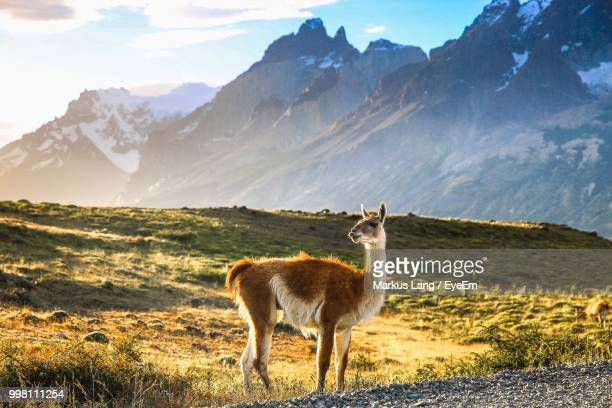 guanaco standing on field against mountain - torres del paine national park stock photos and pictures