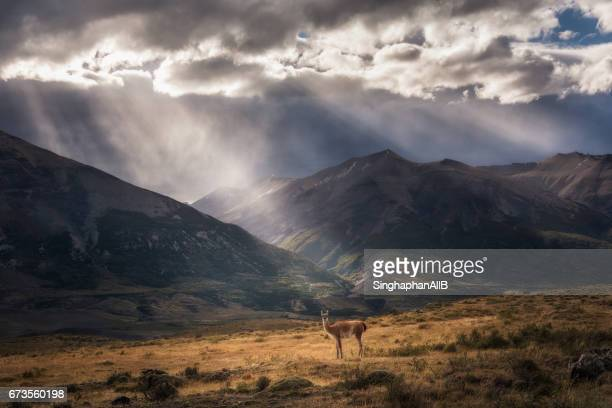 a guanaco starring at the camera with the epic sunbeam at the background of patagonia region - patagonia foto e immagini stock