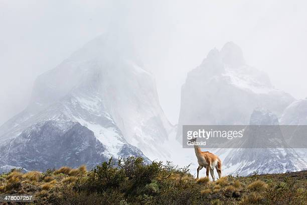 guanaco, torres del paine - torres del paine national park stock photos and pictures