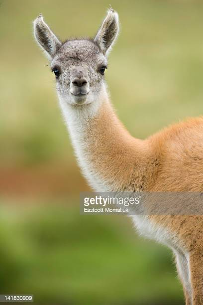 guanaco young calf standing in grass - lama stock pictures, royalty-free photos & images
