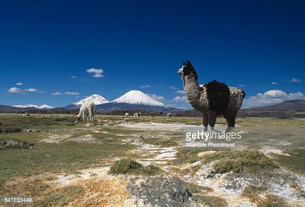Guanacos at Pasture and Parinacota in Distance