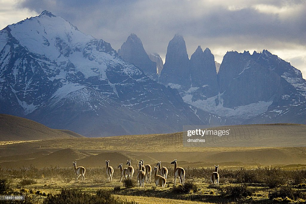 Guanakos in Torres del Paine Nationalpark in Chile : Stock-Foto