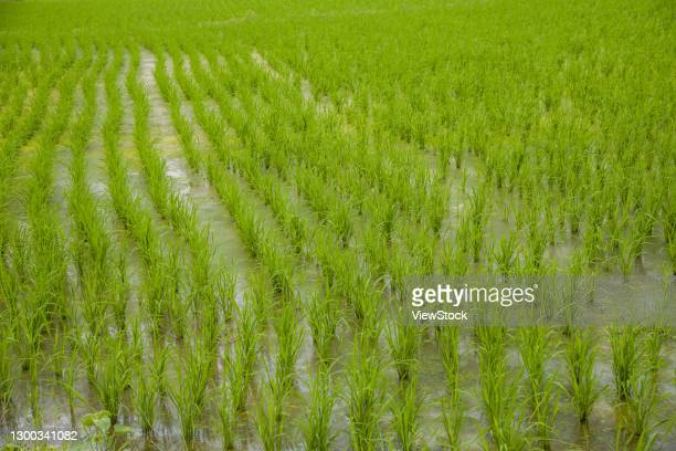 """guangdong jiangmen world cultural heritage """"kaiping castle and ancient village"""" self-reliance village rice fields - humanities stock pictures, royalty-free photos & images"""