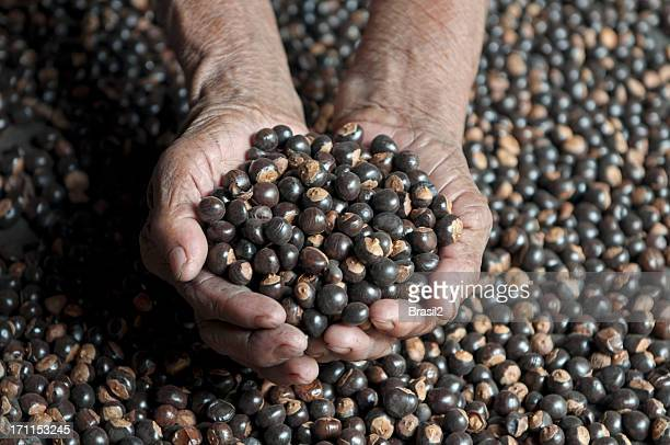 Guarana seeds backgrouds harvesting