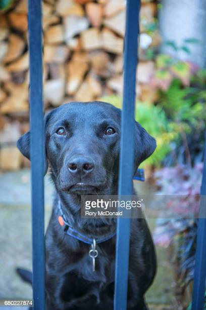 Guard Dog behind a gate