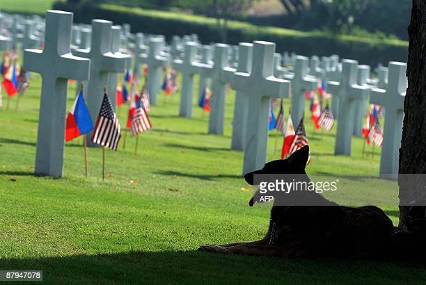 A guard dog from the K9 unit of the Philippine Army rests in the shade along the graves inside the Manila American cemetery in the Philippine capital...