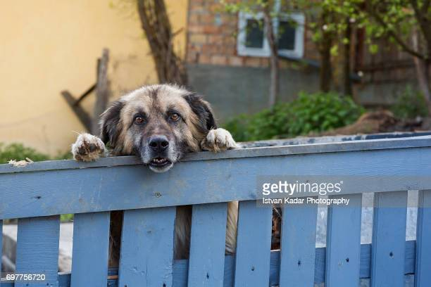 Guard Dog Looking out Above Fence in a Transylvanian Village, Romania