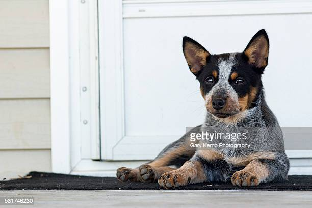 guard dog - australian cattle dog stock pictures, royalty-free photos & images