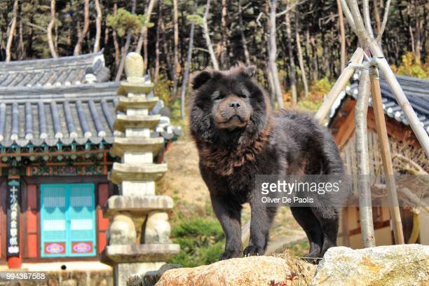 guard dog - chow stock pictures, royalty-free photos & images
