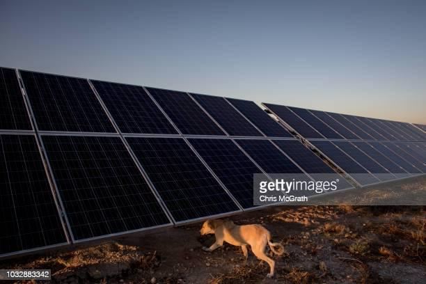 A guard dog runs under solar panels at the Tekno Ray Solar farm on September 13 2018 in Konya Turkey By 2023 Turkey plans to generate thirty percent...