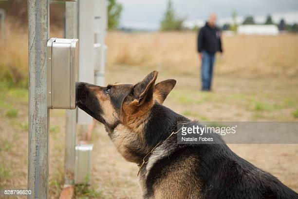 guard dog training - german shepherd stock pictures, royalty-free photos & images