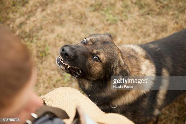 guard dog training - aggression stock pictures, royalty-free photos & images