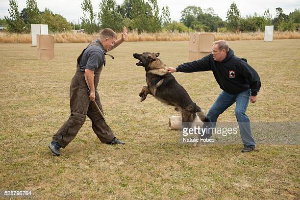 guard dog training - animals attacking stock pictures, royalty-free photos & images