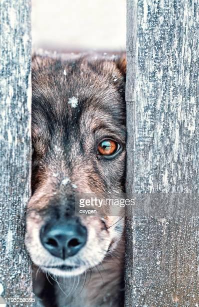 guard outbred dog looking through a wooden fence - tierisches verhalten stock-fotos und bilder