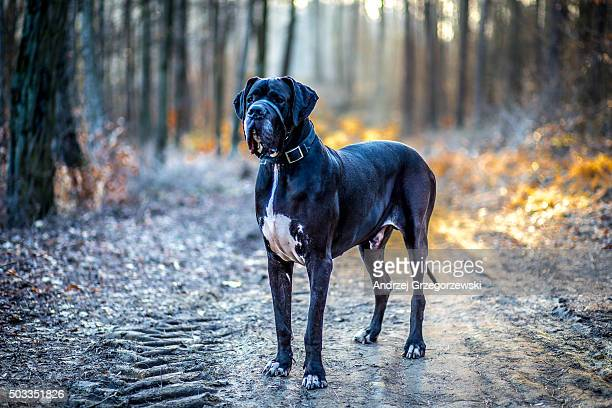 guard - great dane stock pictures, royalty-free photos & images