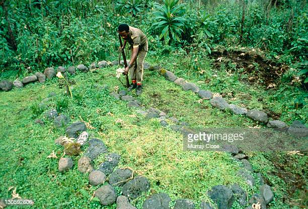 A guard places flowers in the graveyard where naturalist Dian Fossey and several of her beloved gorillas are buried at the Karisoke Mountain Gorilla...