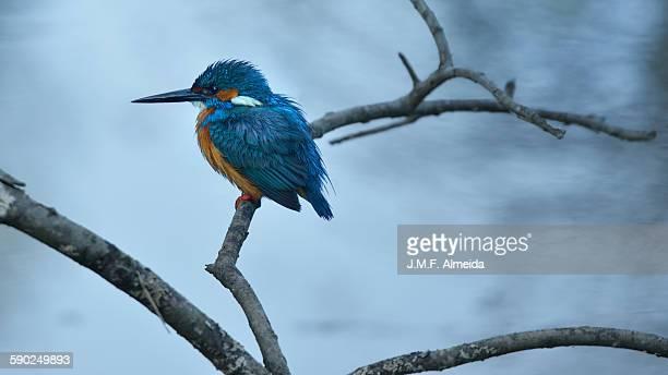 guarda rios - river kingfisher - alcedo atthi - アヴェイロ県 ストックフォトと画像