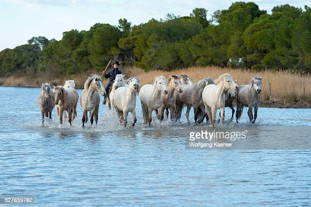 Guardian is herding Camargue horses in a marsh of the Camargue in southern France