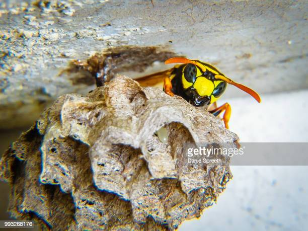 guarding the next generation... - african wasp stock pictures, royalty-free photos & images