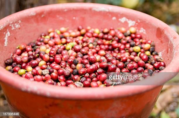 Guatemala Coffee Beans in a Bucket