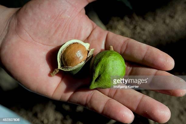 Guatemala Highlands Antigua Finca Valhalla Macademia Nut Plantation Macademia Nut