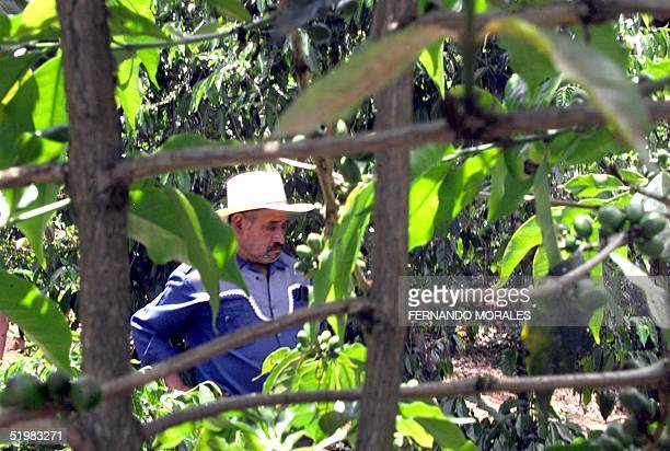 Guatemalan coffee producers demand aid to revive abandoned properties A farmer observes his coffee plantation in the town of Mataquescuintla 155 km...