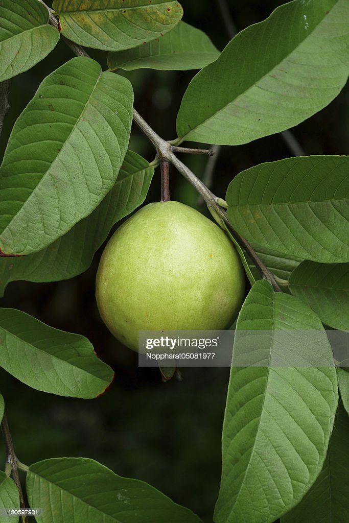 Guava fruit (Psidium guajava L) on tree. : Stock Photo